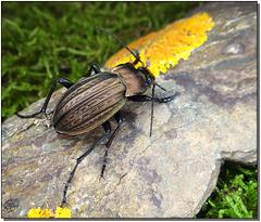 Carabus (Tachypus) cancellatus - mâle.