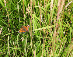 oaw - tortishell on grass