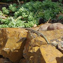 Cretan wall lizard