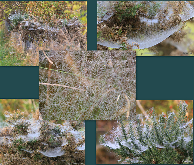 Early morning spiders' webs on every gorse bush lining the path to the woods