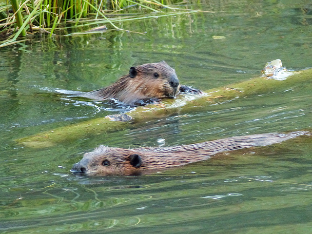 Young Beavers at play