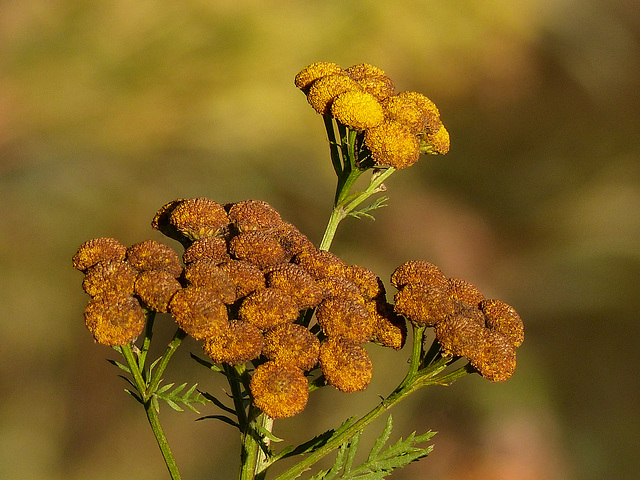 Fall colours of Common Tansy