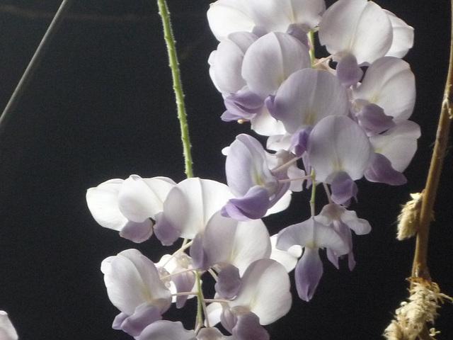 Blancas flores de la pluma