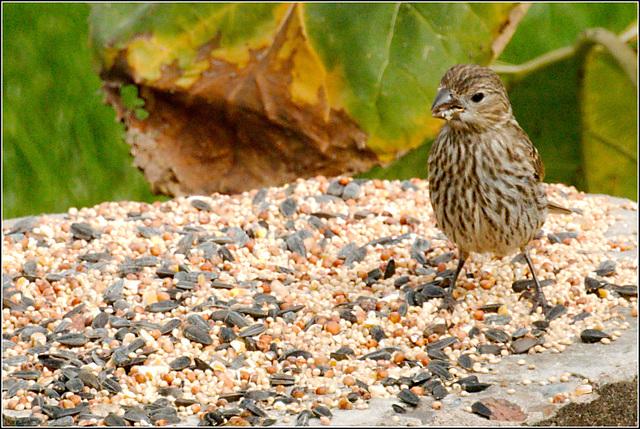 Finch on Pedestal Feeder