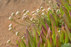 Carpobrotus edulis, Thymus capitellatus, Guincho