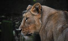 Mrs Lion