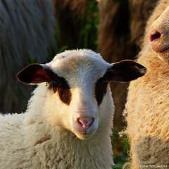 Mähähhäähhh...Lamm und Mutterschaf