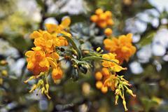 Orange Coloured Blossoms – San Francisco Botanical Garden, Golden Gate Park, San Francisco, California