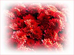 Chrysanthèmes.