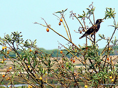 Singer In a Berry Bush