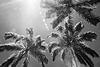 Palms of Kinabalu