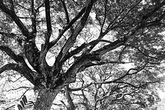 Trees (in BW)