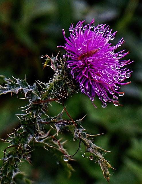 Wegdistel - Carduus acanthoides