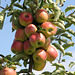 Apfeltraube