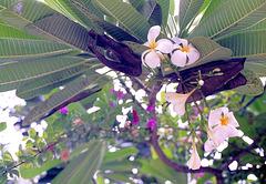 Bali, Frangipani. ©UdoSm
