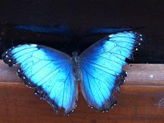 Mariposa azul de Costa Rica