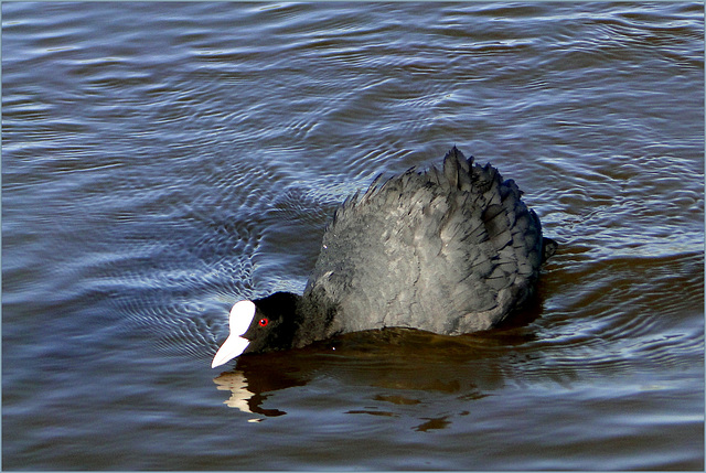 The black Coot...