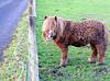 Miniature pony (1 of 2).
