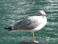 A Gull at Harbourfront (2) - 23 October 2014