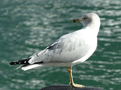 A Gull at Harbourfront (3) - 23 October 2014
