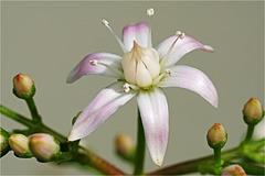 Geldbaum-Blüte
