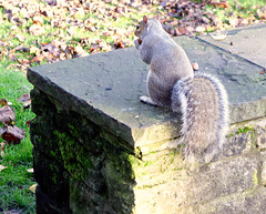 Grey squirrel (1 of 3).