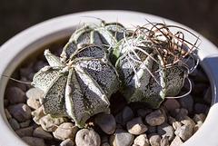 Goat's horn cactus (Astrophytum capricorne var. niveum)