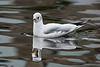 Black-headed Gull / Kokmeeuw (Chroicocephalus ridibundus)