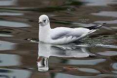 Black-headed Gull / Kokmeeuw (Chroicocephalus ridibundus)
