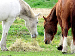 Sharing the Hay.