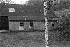 Birke | birch