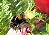 Bee on Kaka Beak Flowers.