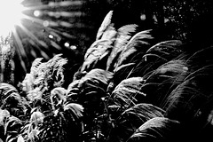 Guildford Pampas Grass 1 mono