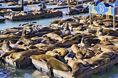 California Sea Lions – Pier 39, North Beach, San Francisco, California