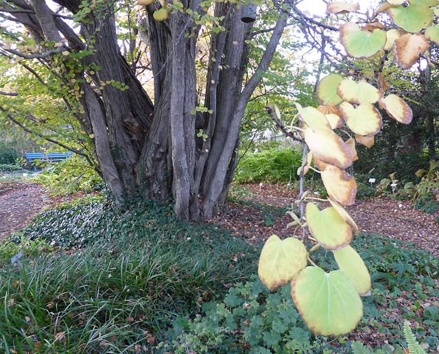 Kuchenbaum  (Cercidiphyllum japonicum)