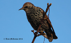 Starling Explore 063