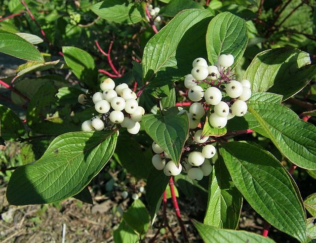 Fruits de la Symphorine