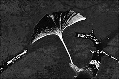 Gingko Variation I