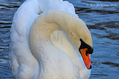 Graceful Swan Explore  114 copy