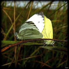 on me confond souvent avec le papillon du chou
