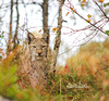 Lynx in autumn colours