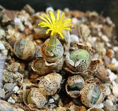 Conophytum meyeri Extractum