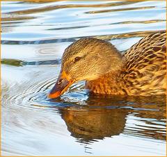 Je vous vois venir, vous allez me dire que c'est un canard à l'orange...Hé ben non, c'est une cane ! :o))