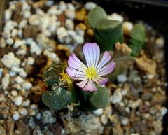 Ophtalmophyllum