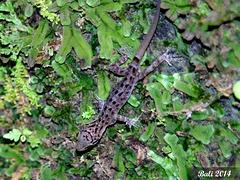 85 Cyrtodactylus fumosus (Tamarind Forest Gecko)