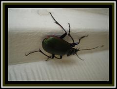 Texan cockroach / Cafard texan