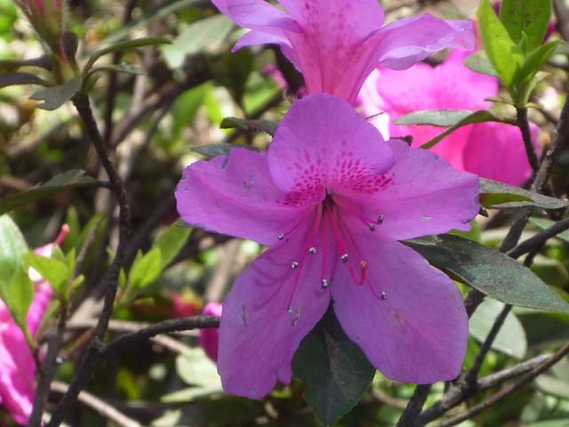 Flor Lila  de Costa Rica