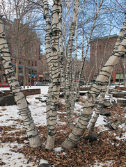 Birches' electrification.