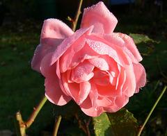 einsame Rose im Herbst