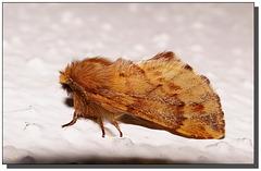 Ptilophora plumigera mâle